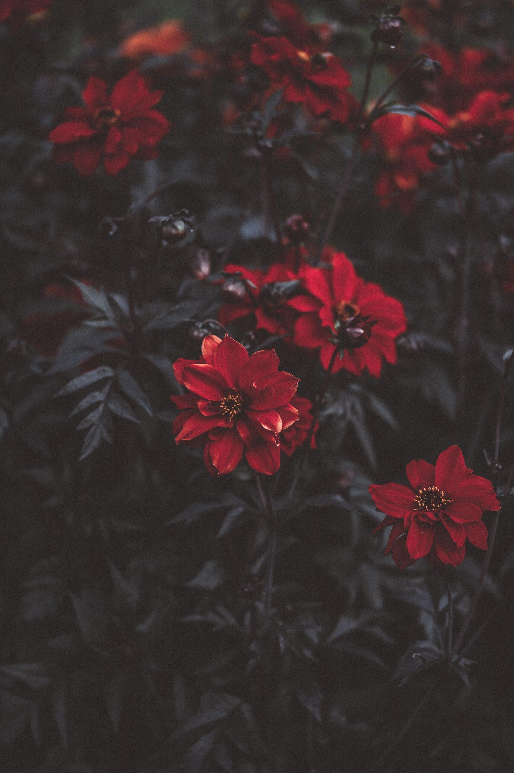 wallpaper Macro shot photography of red rose