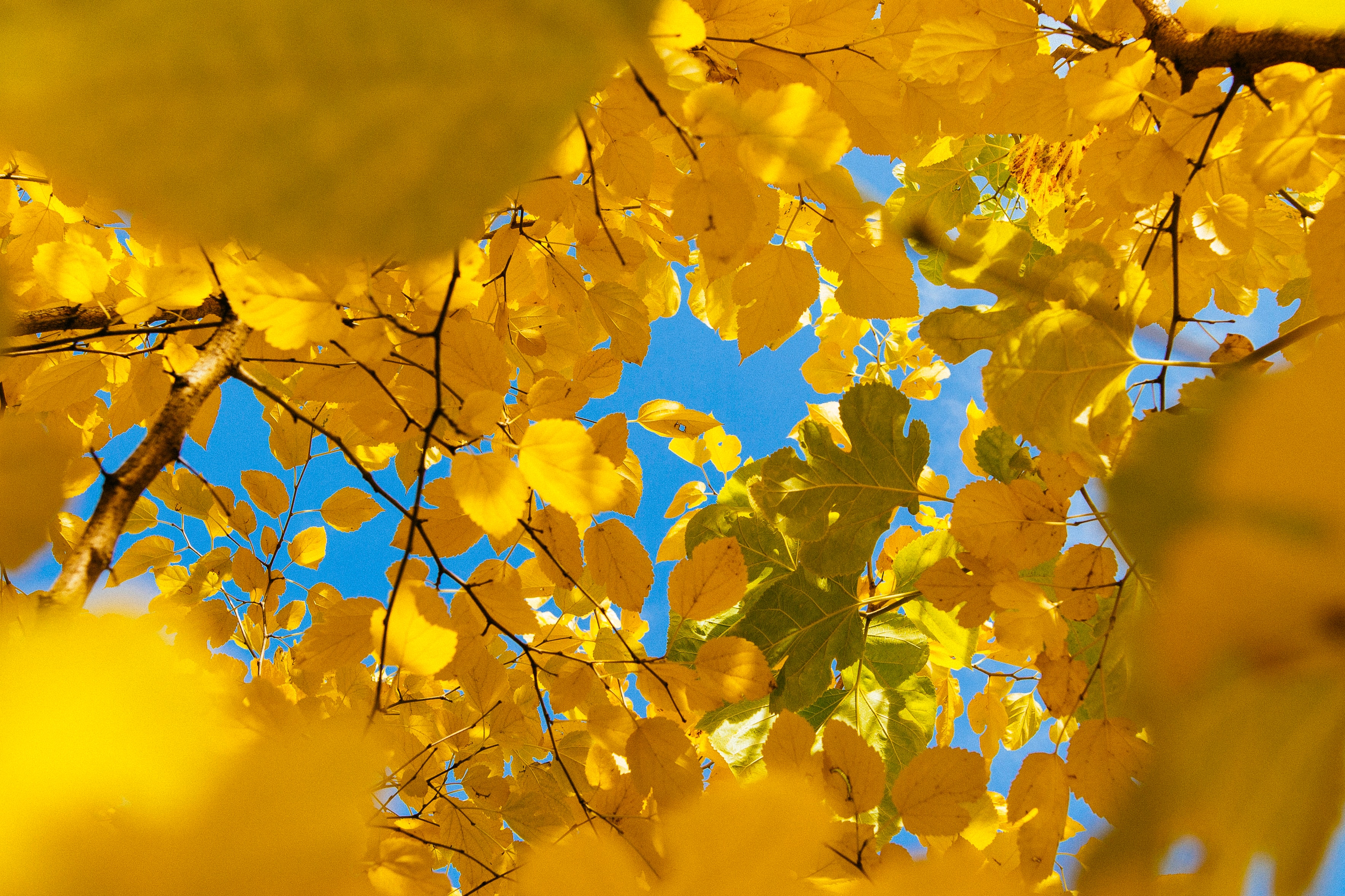wallpaper Yellow leafed tree during daytime