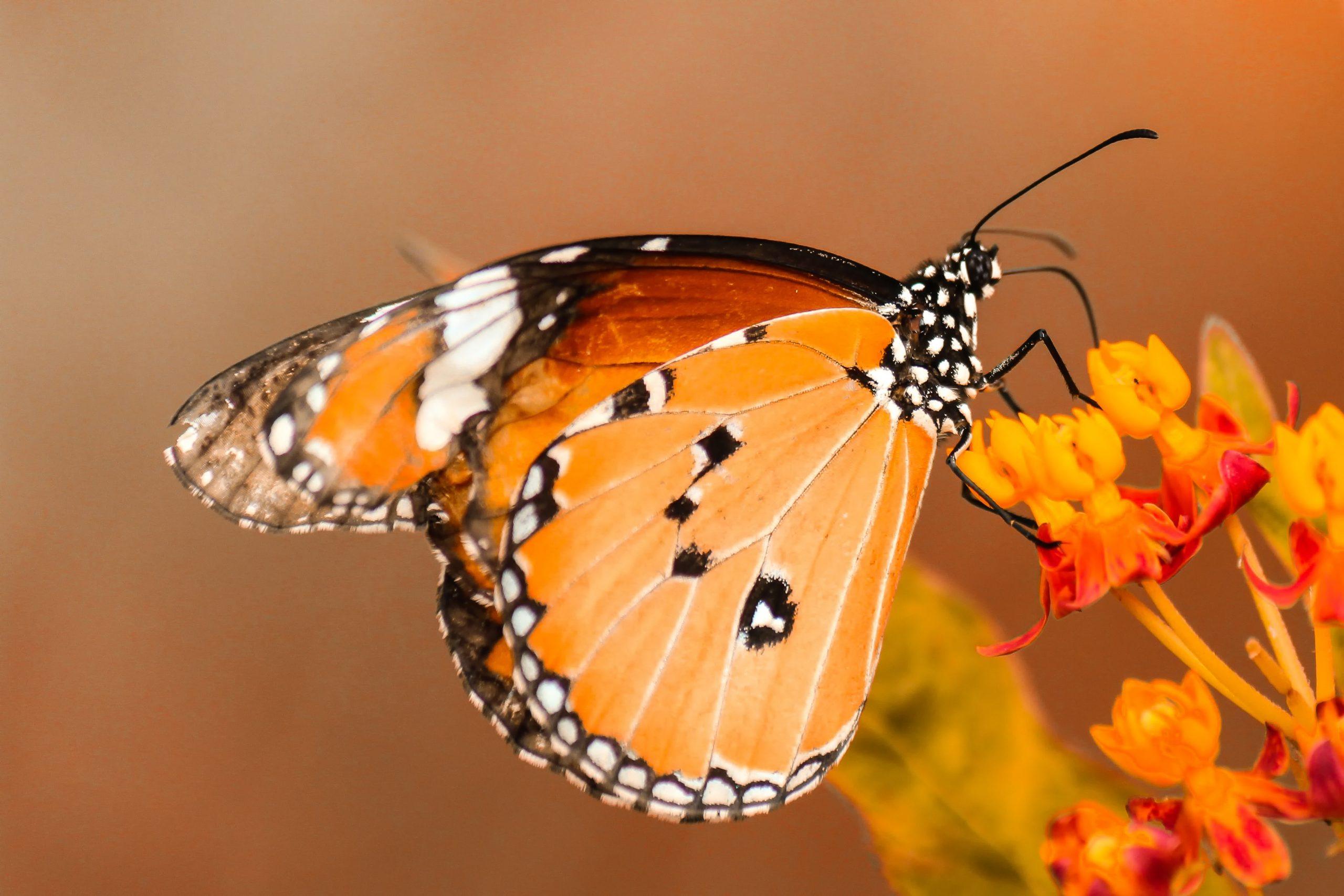 wallpaper Butterfly perching on orange flower