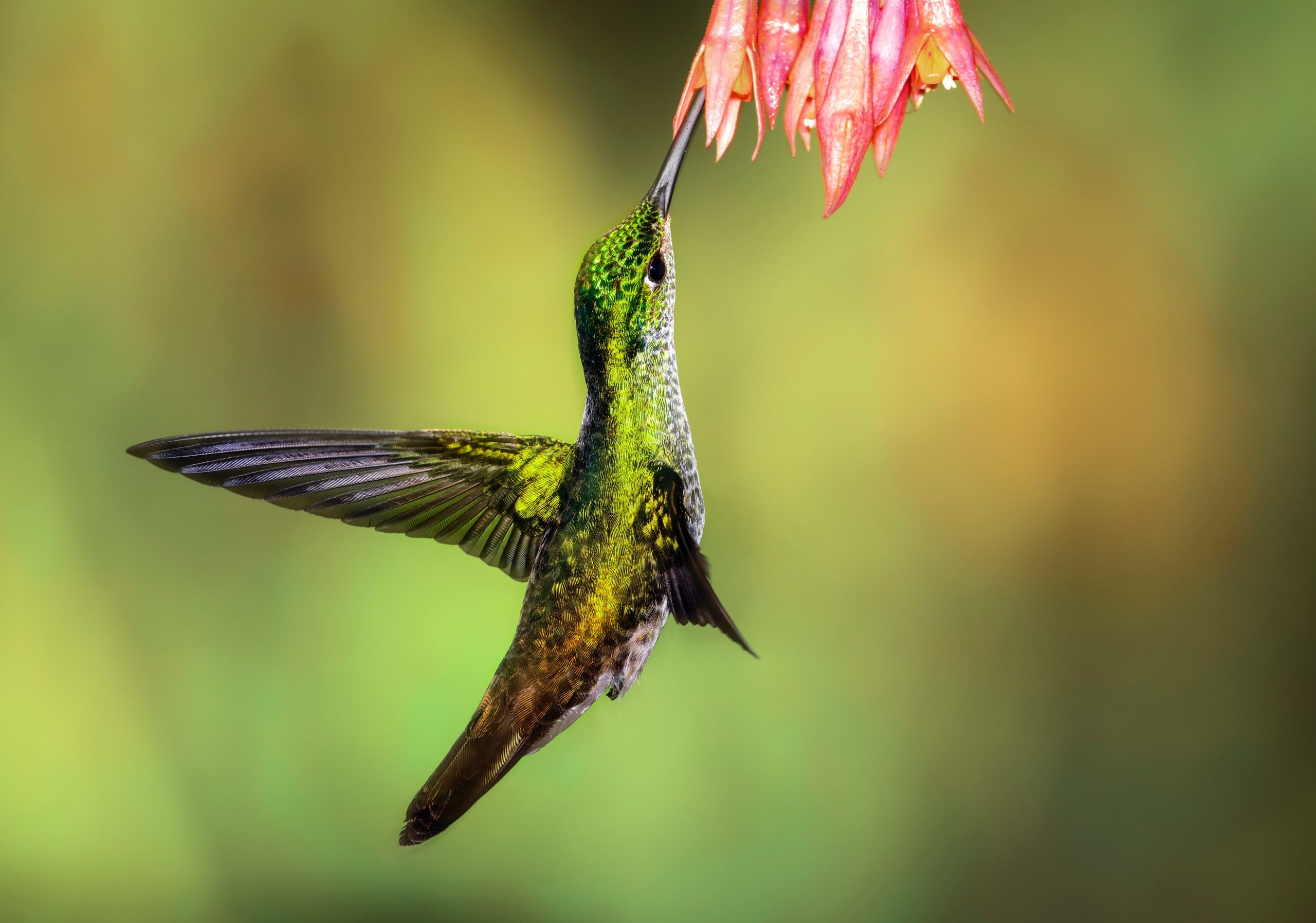 wallpaper Green hummingbird pollinating on pink petaled flowers