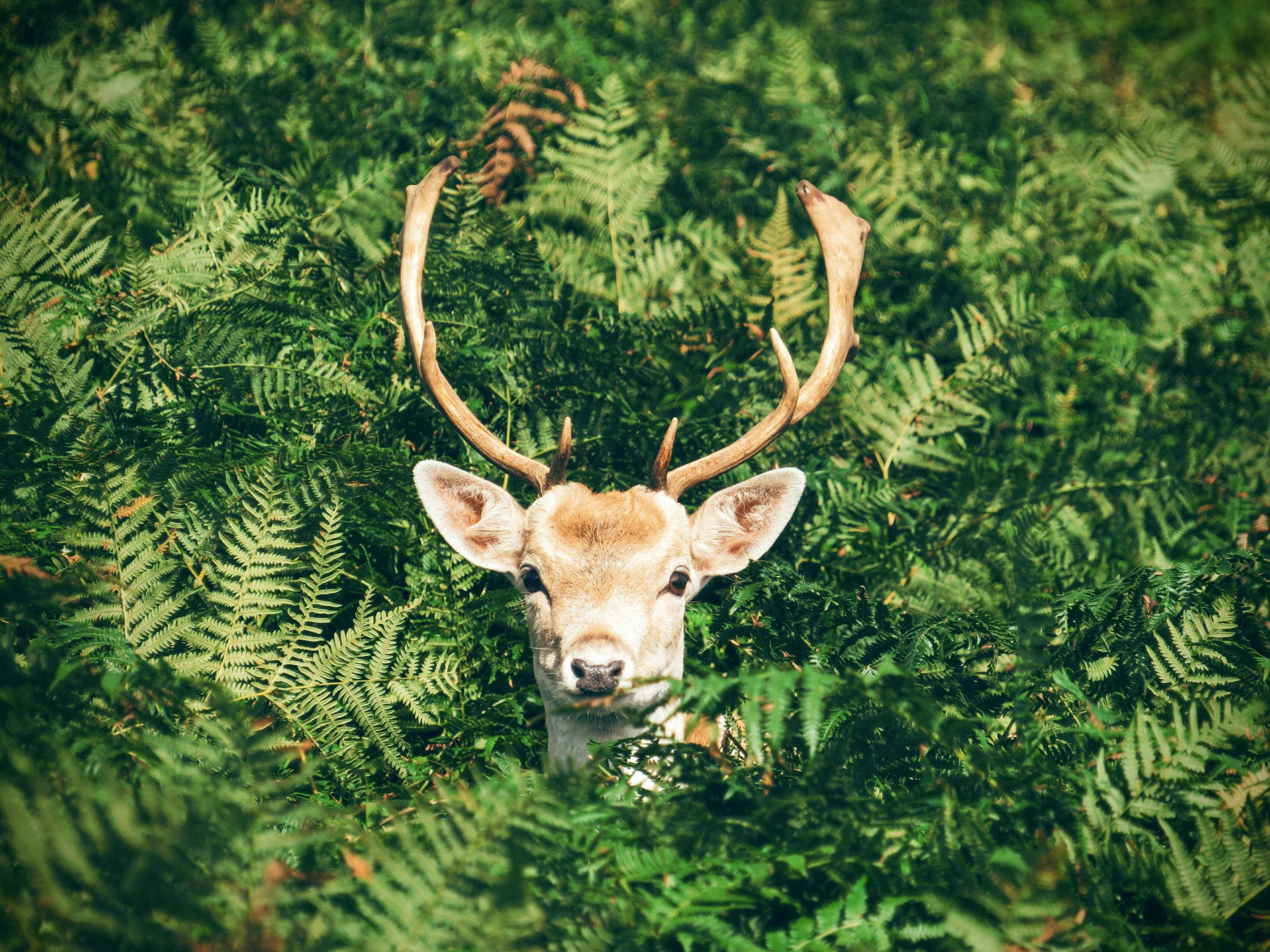 wallpaper Brown and white deer surrounded by green plants