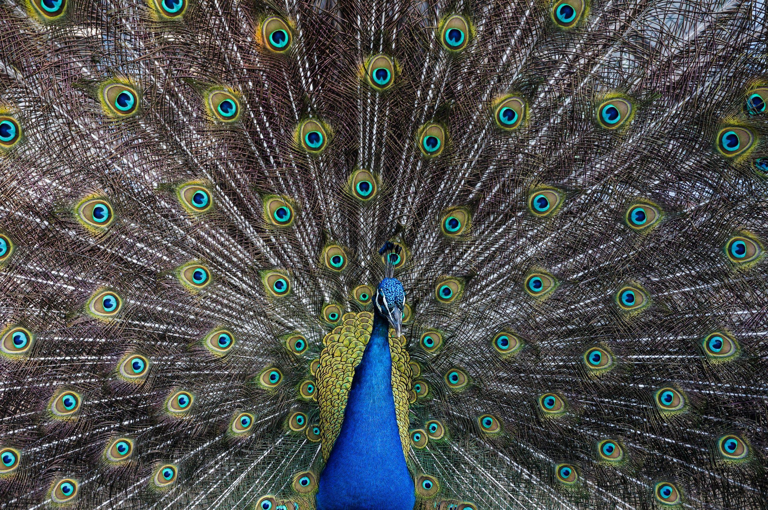 wallpaper Peacock Plumage