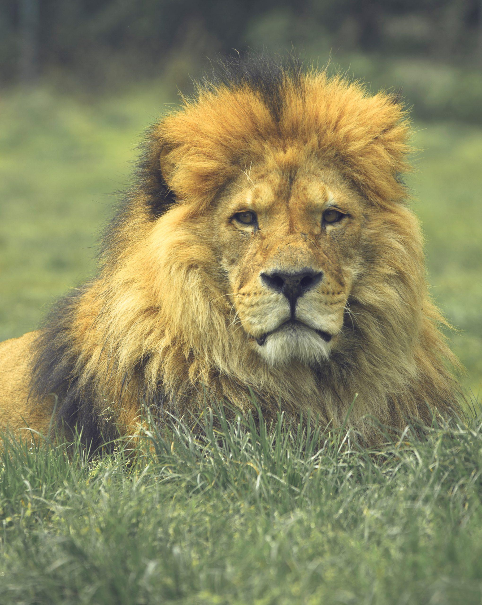 wallpaper Brown lion