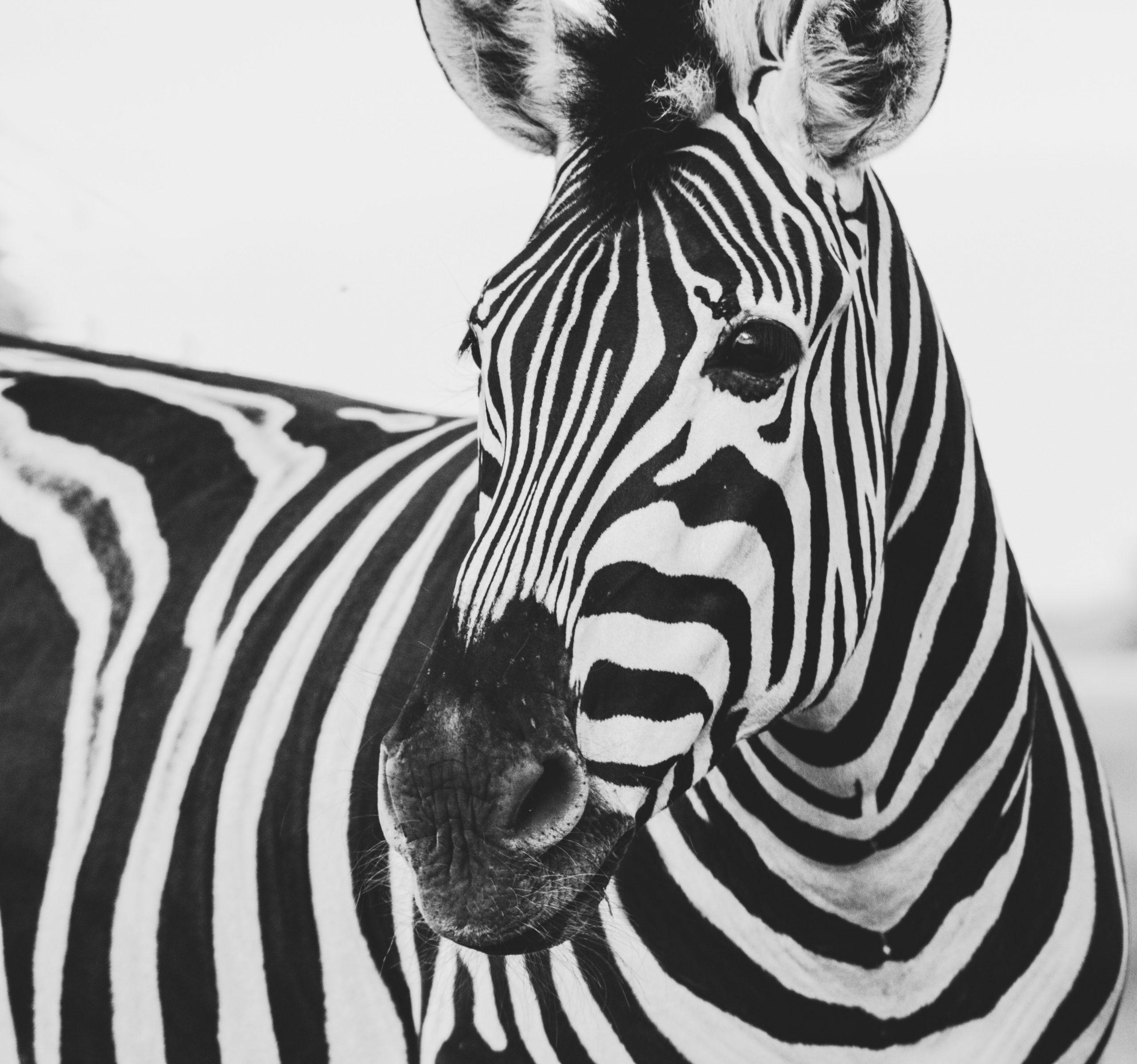 wallpaper Zebra animal