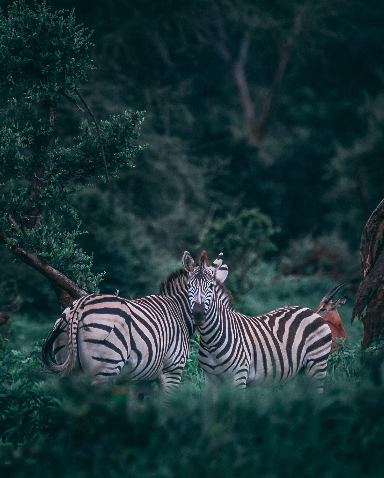 wallpaper Two zebras on grass field