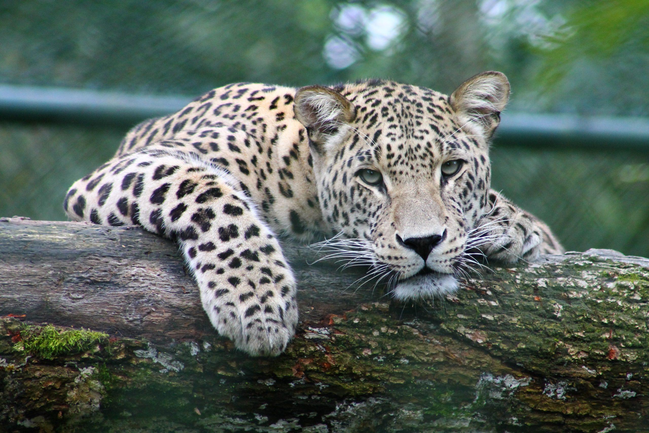 wallpaper Peeking leopard