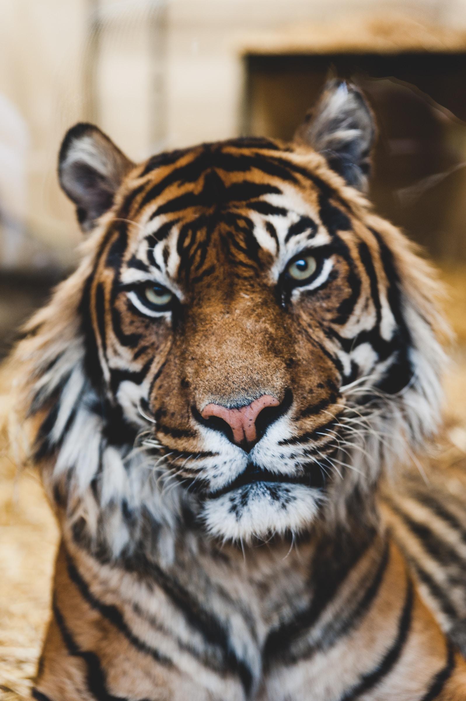 wallpaper Majestic tiger