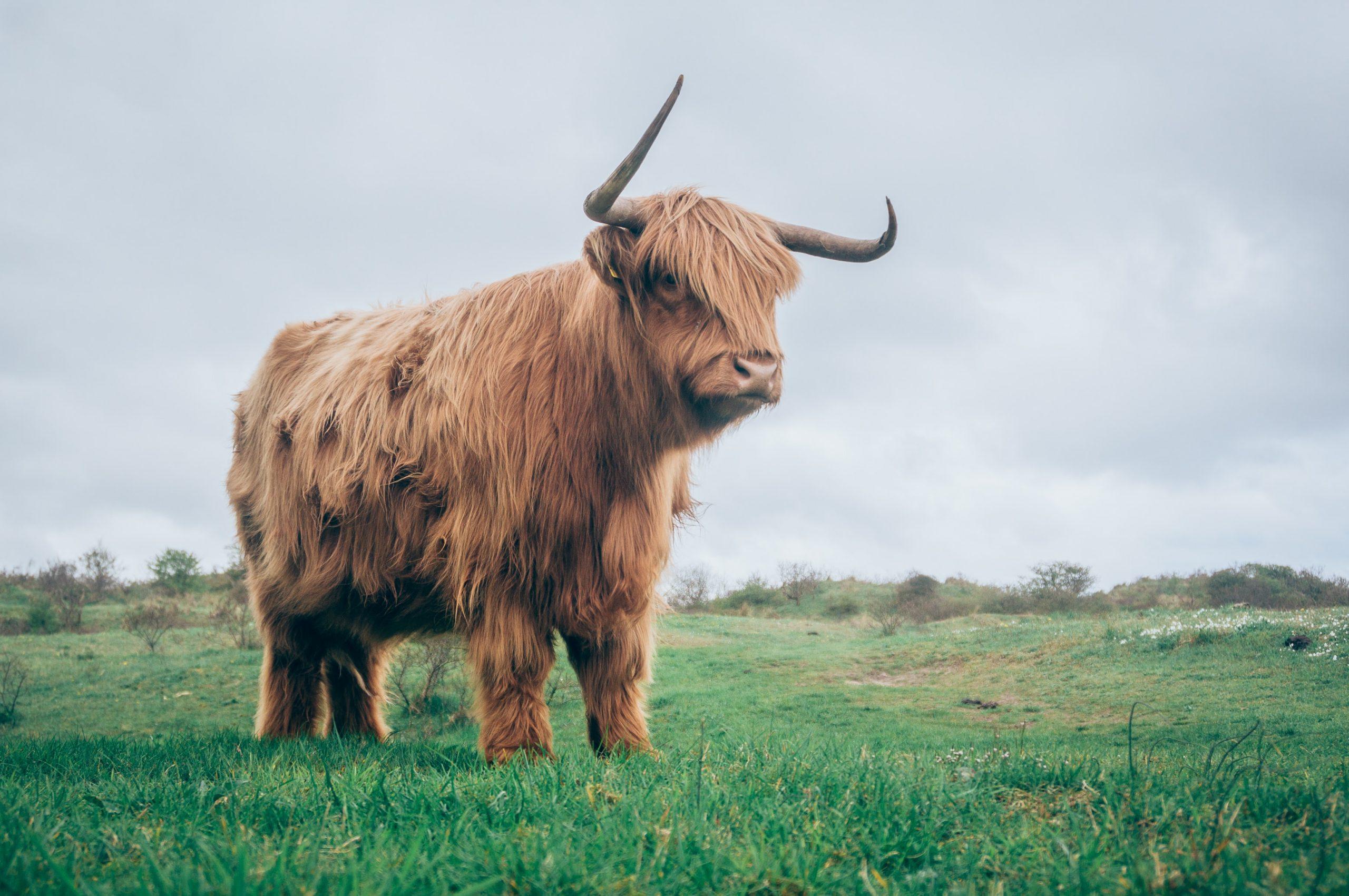 wallpaper Brown yak on green grass