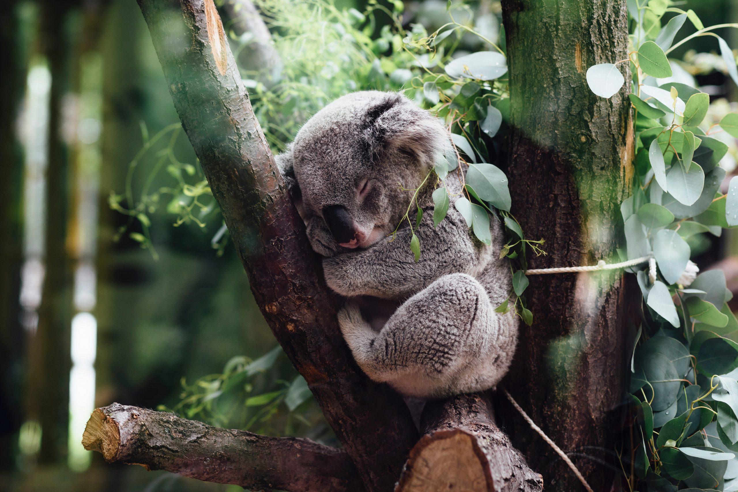 wallpaper Koala sleeping on tree branch