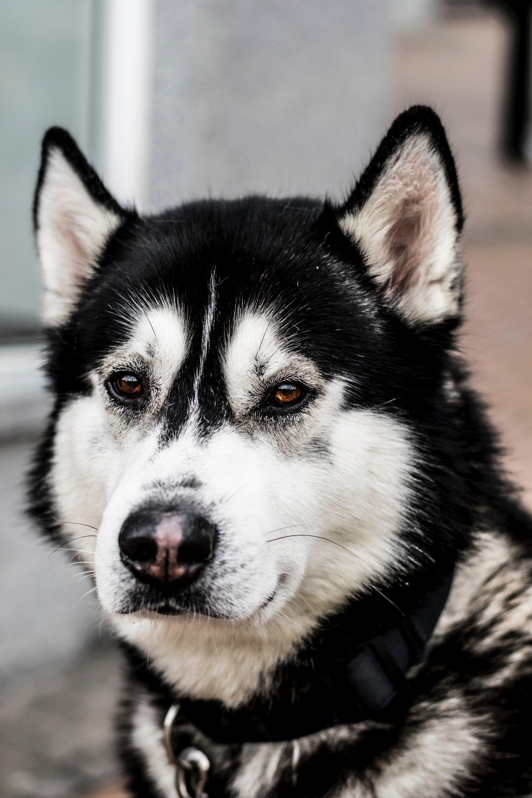 wallpaper Black and white Siberian husky dog