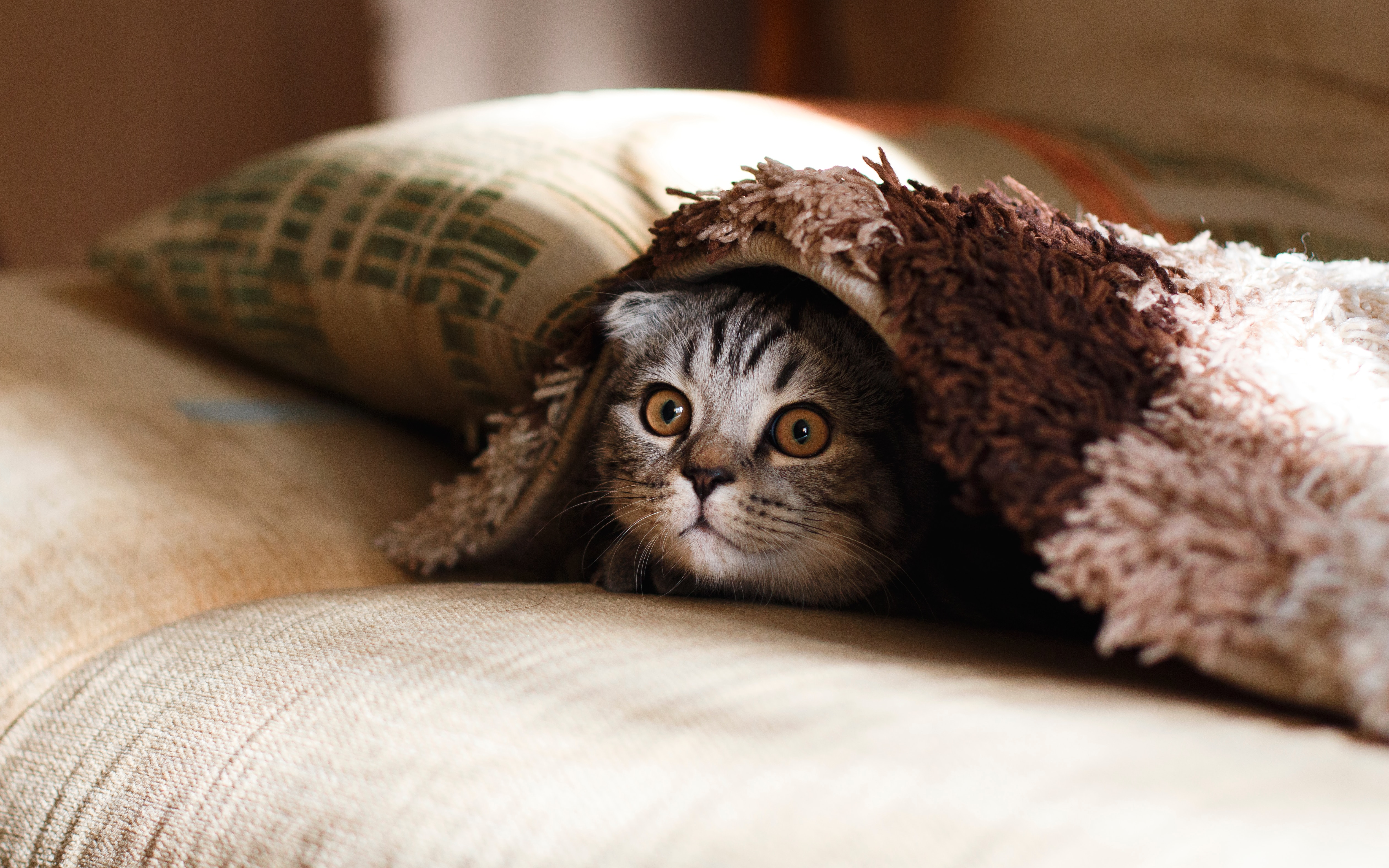 wallpaper Brown Scottish fold in brown thick-pile blanket
