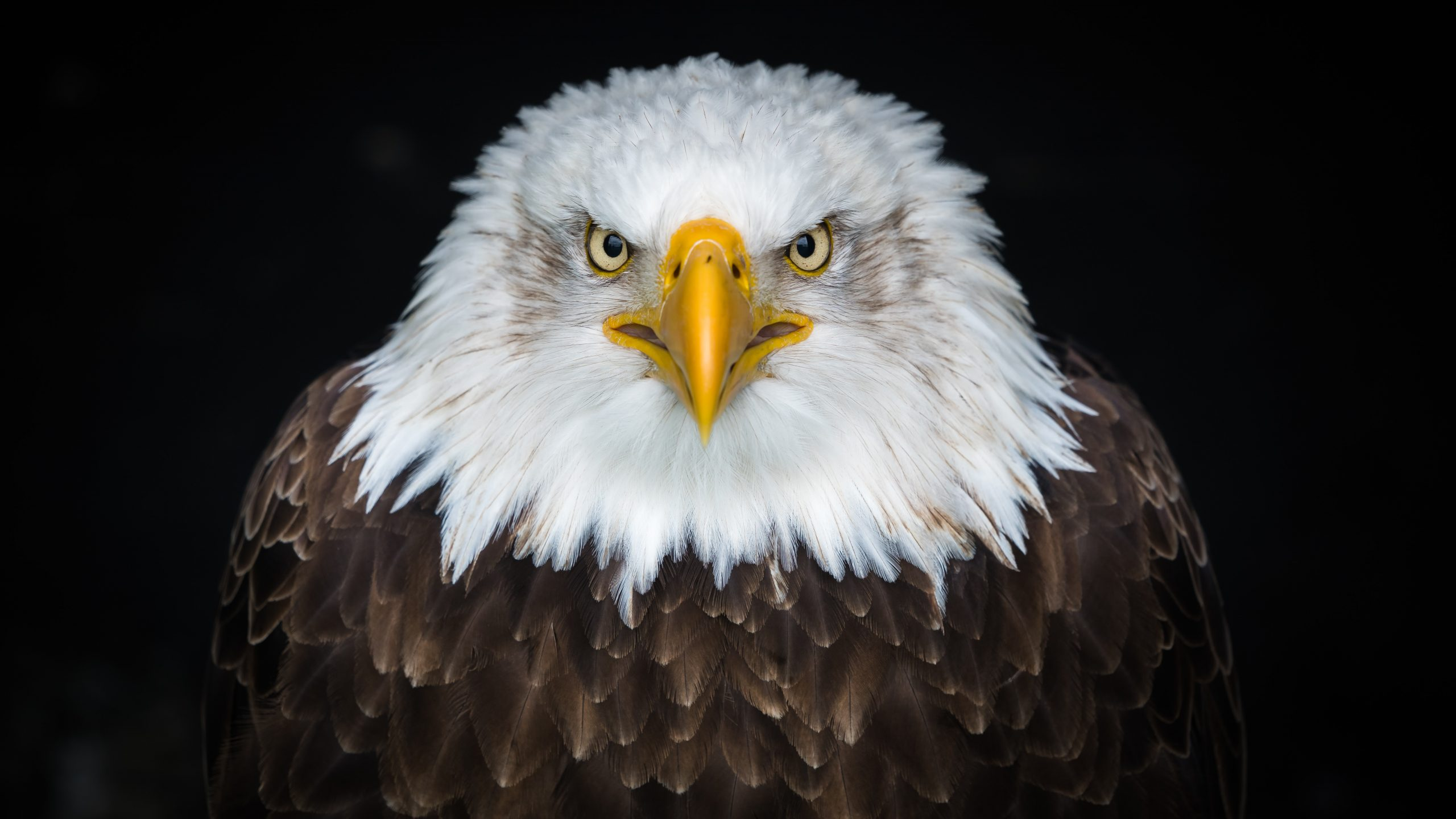 wallpaper White and brown eagle