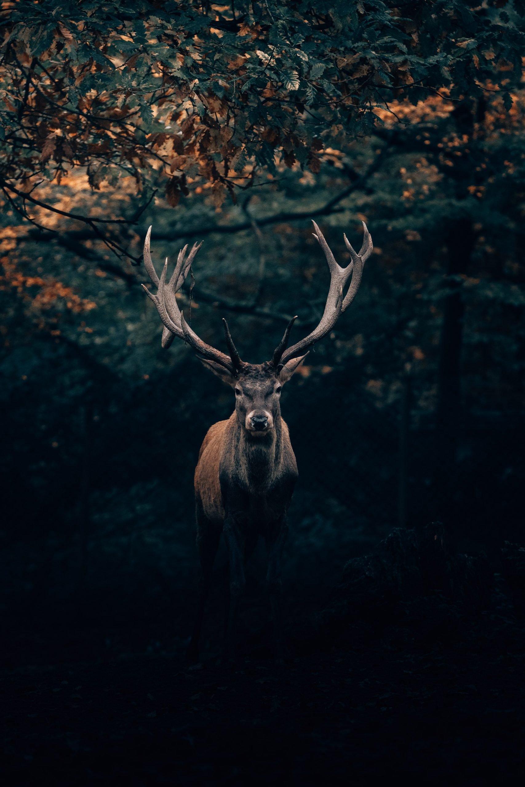 wallpaper Your Majesty, the King of Teutoburg Forest! 🦌