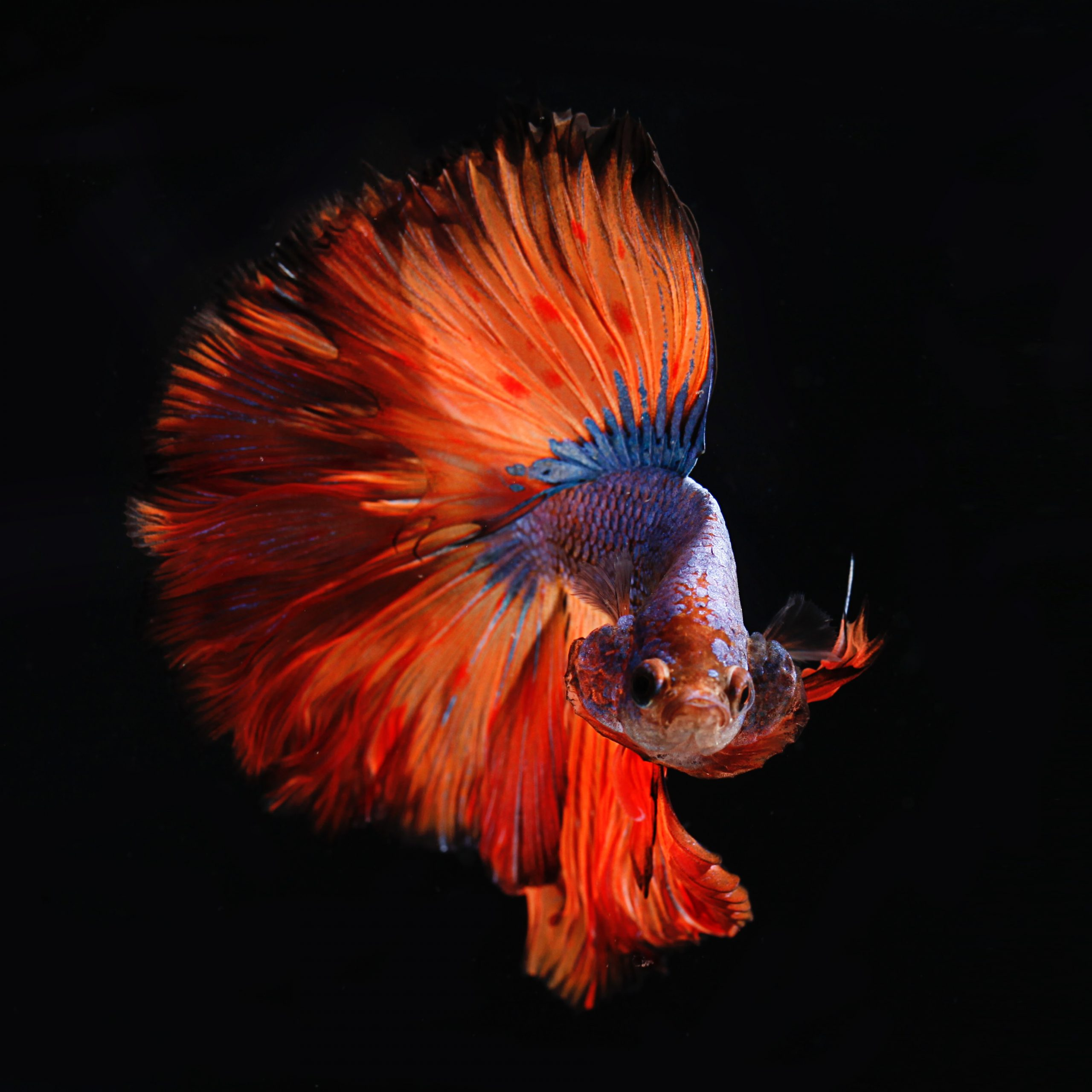 wallpaper Red and silver fighting fish
