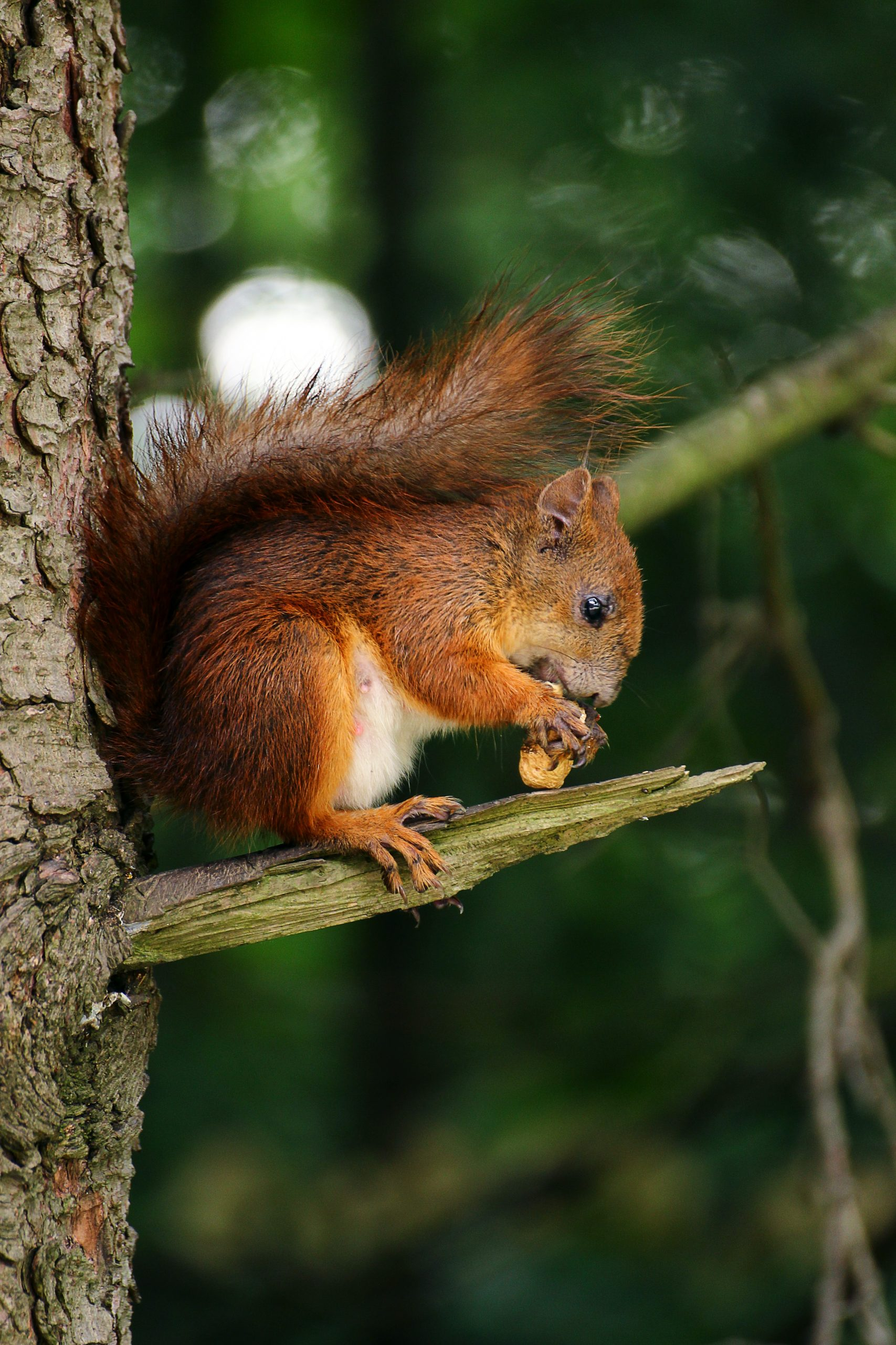 wallpaper Brown squirrel on branch of tree eating nut