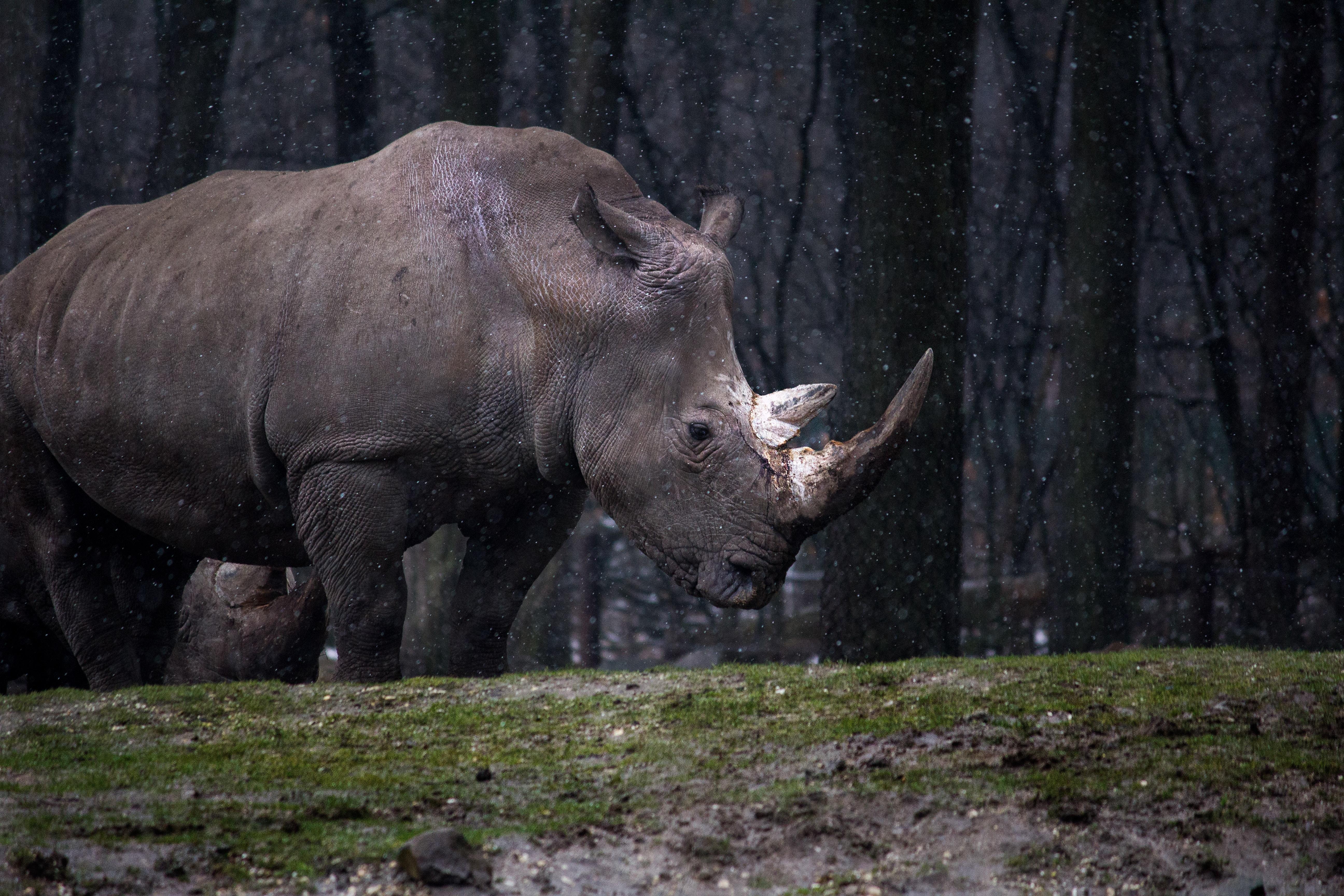 wallpaper Gray rhinoceros standing