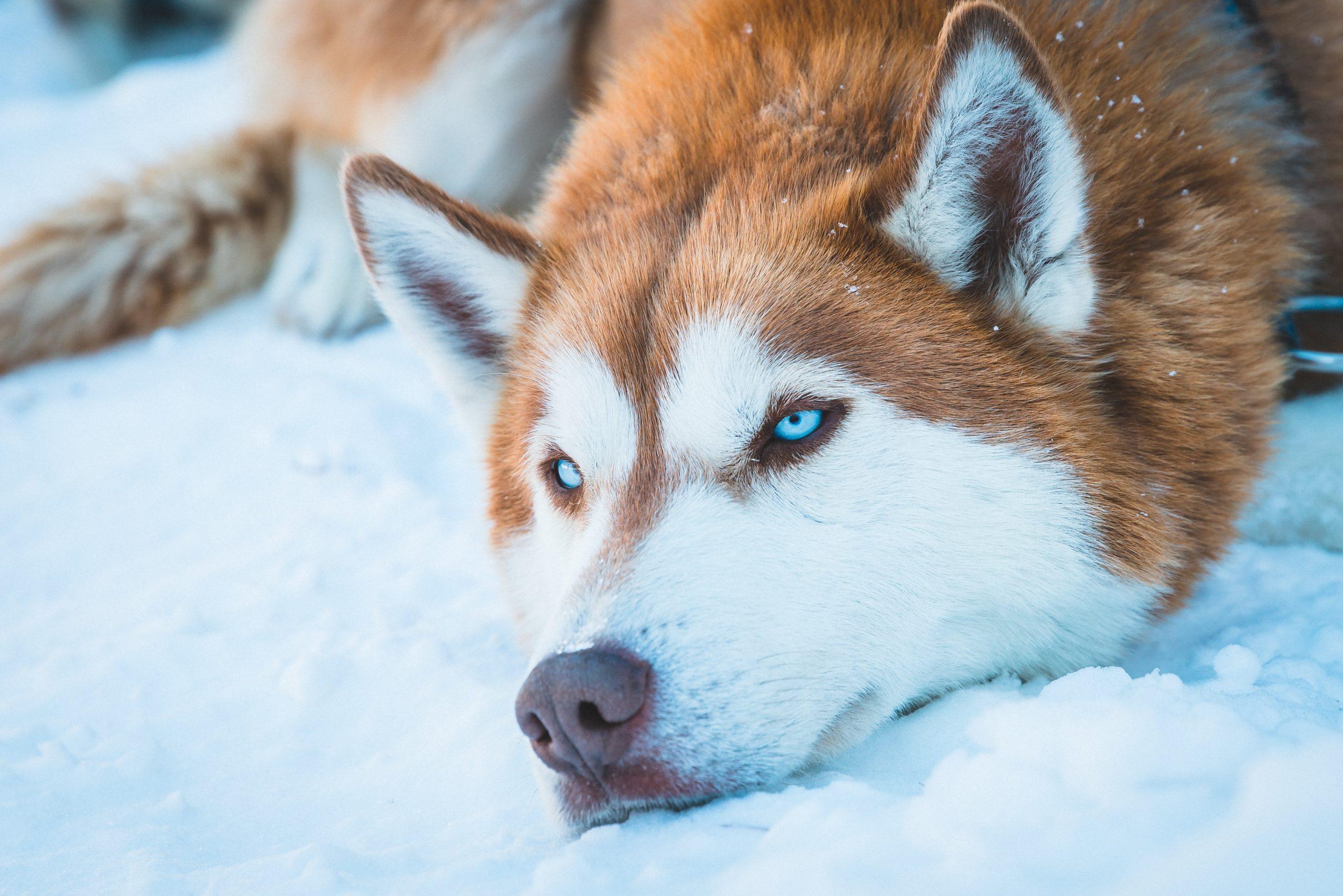 wallpaper Brown and white Siberian husky