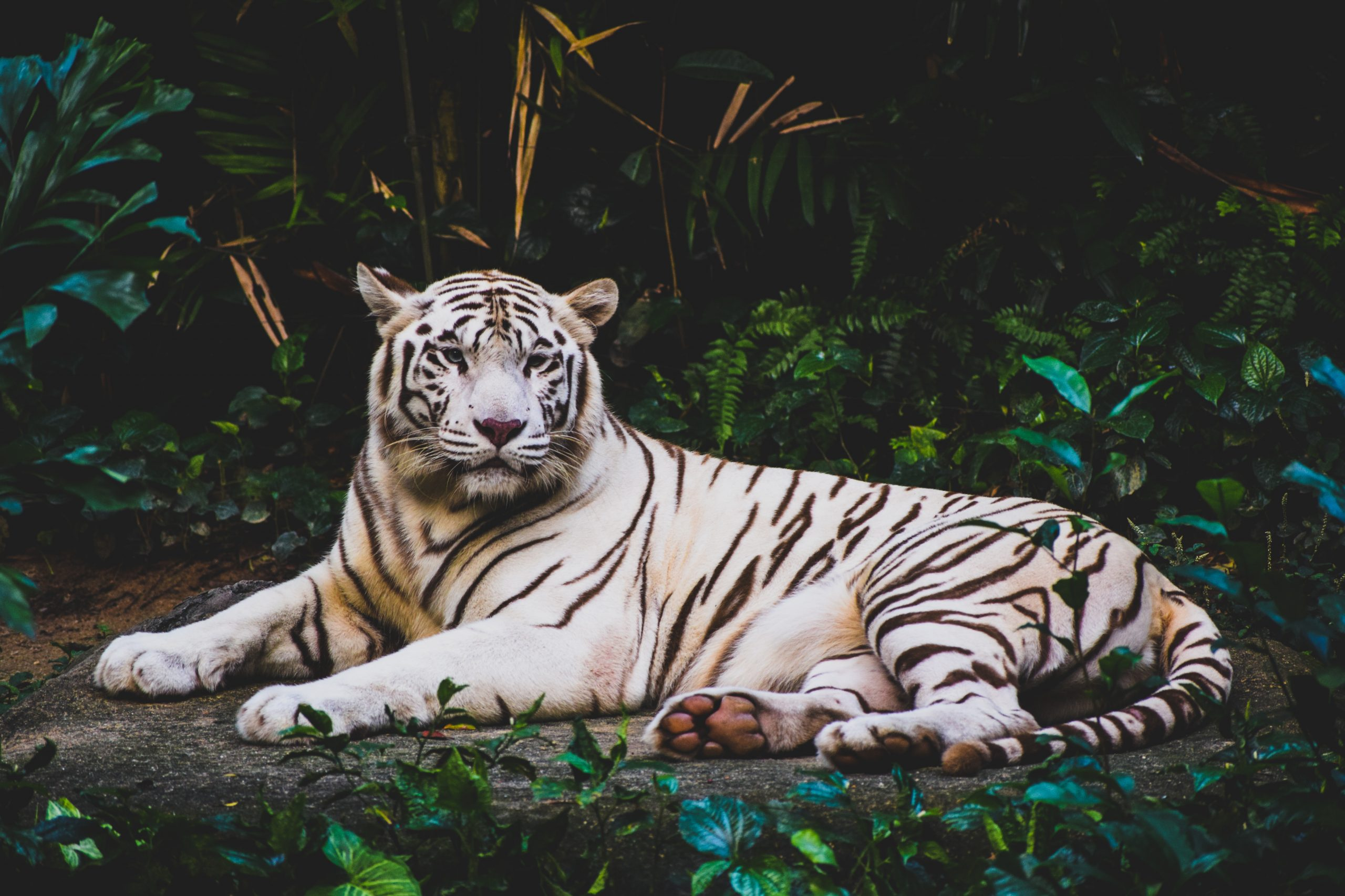 wallpaper Albino tiger lying on ground at nighttime