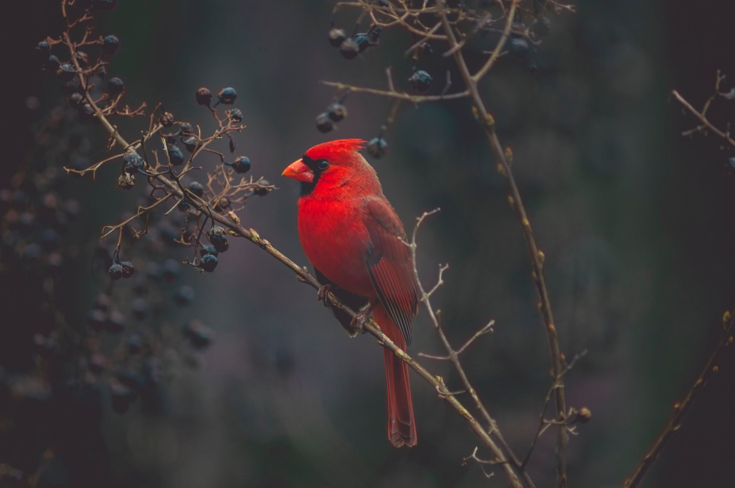 wallpaper Red cardinal on tree