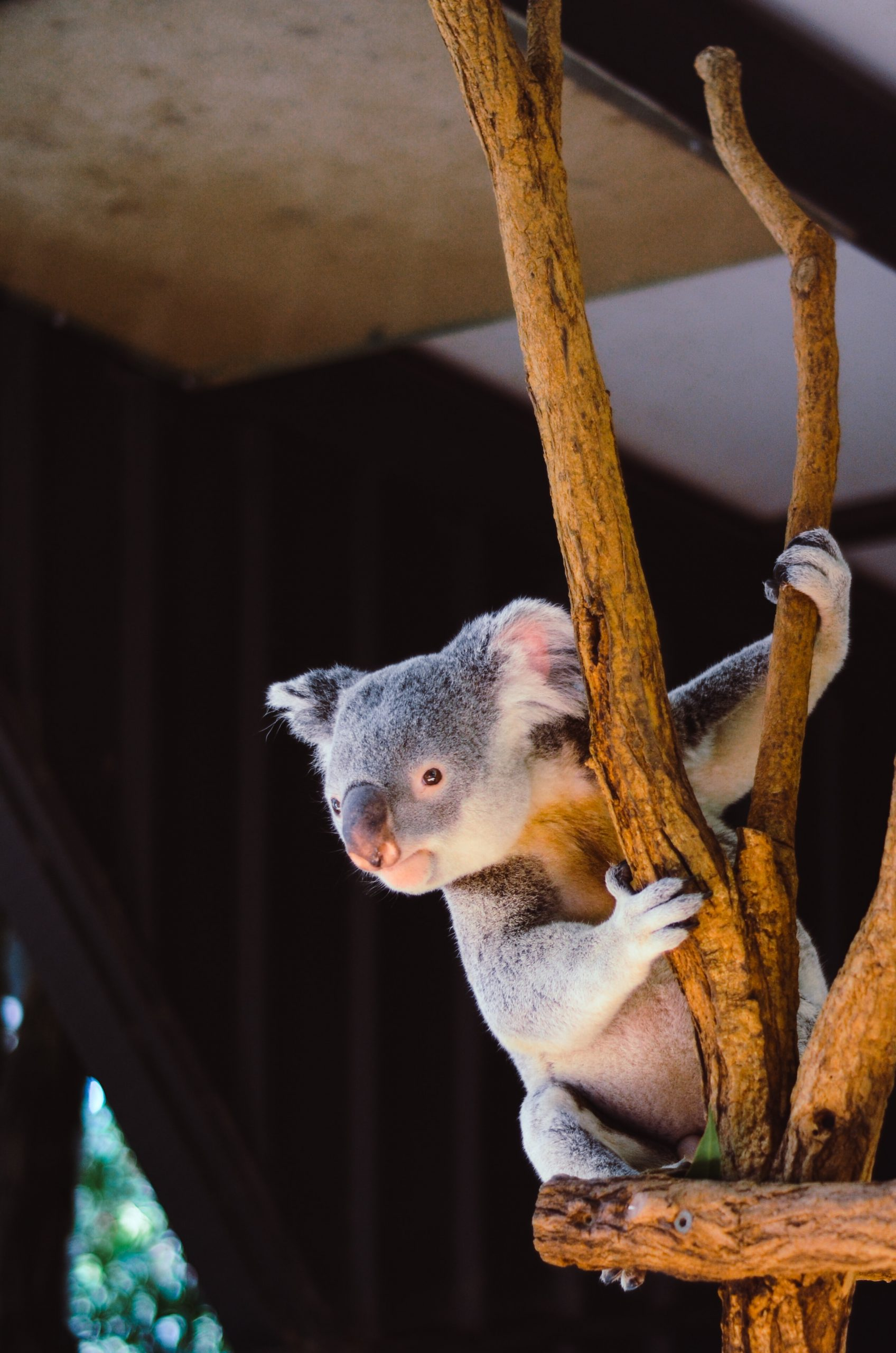 wallpaper koala hanging on branch