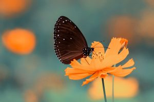 Brown butterfly on orange petaled flower