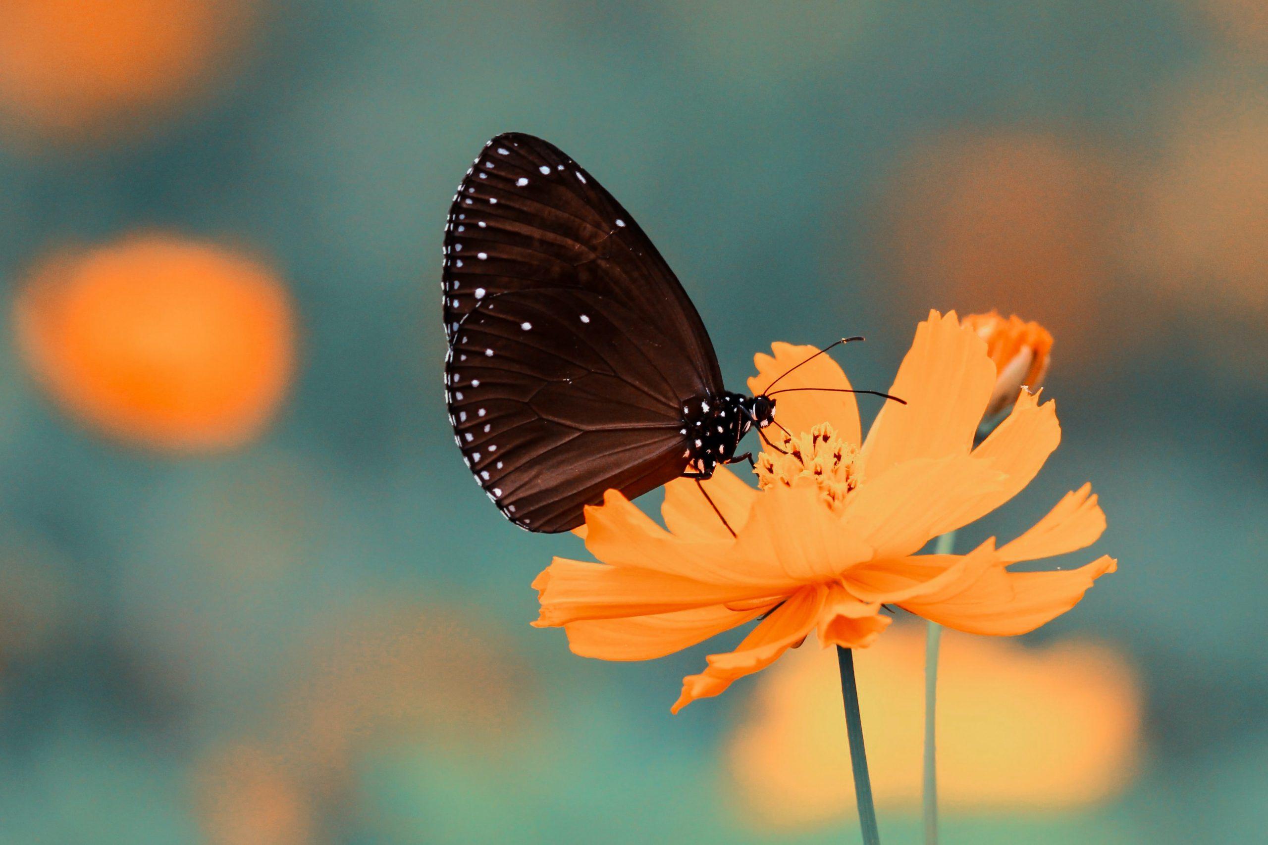 wallpaper Brown butterfly on orange petaled flower