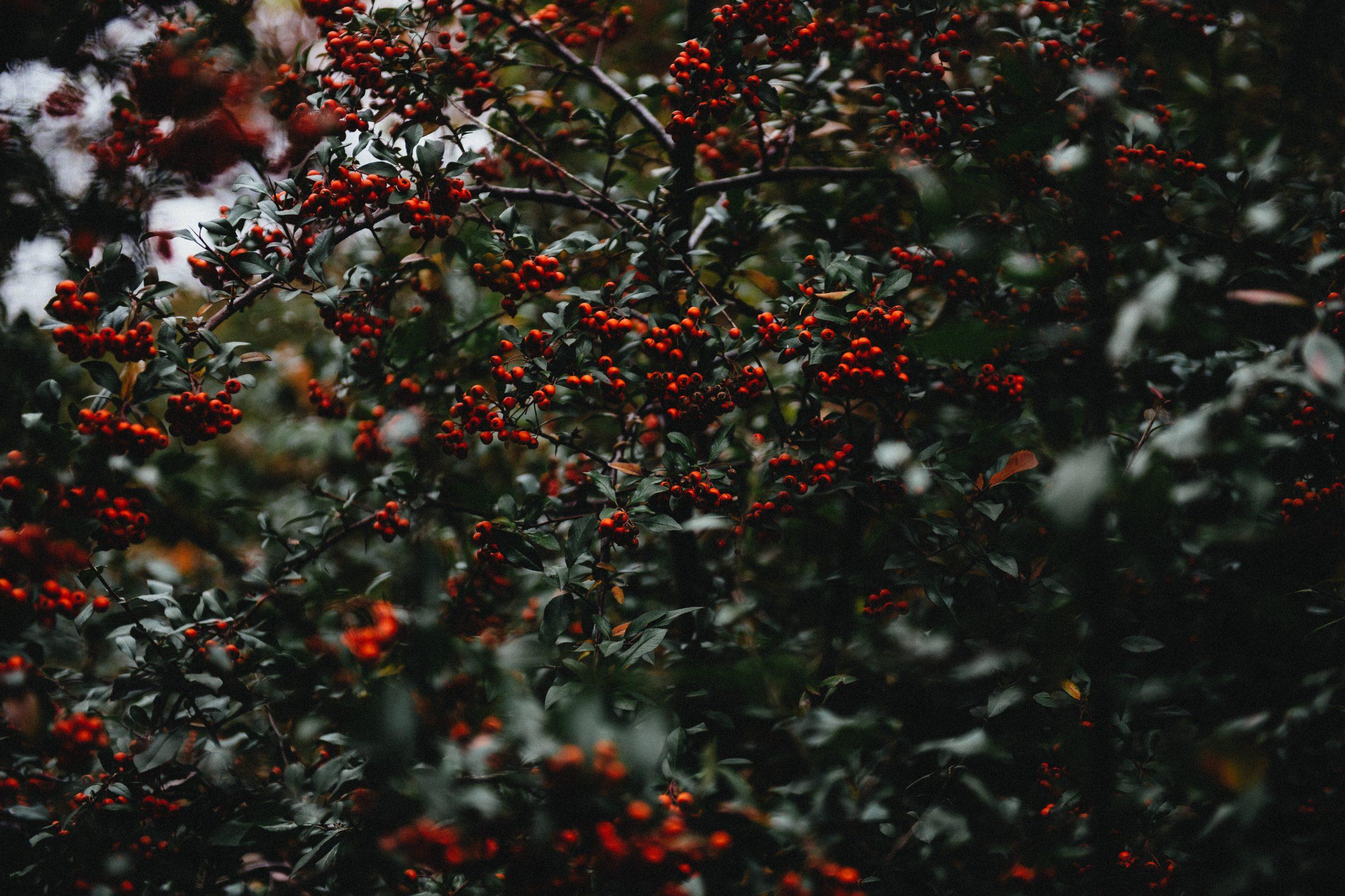wallpaper Mistletoe tree