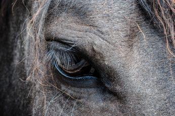 Gray horse's eye