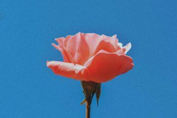 Pink rose aesthetic wallpaper