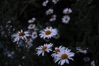 White daisy flower wallpaper