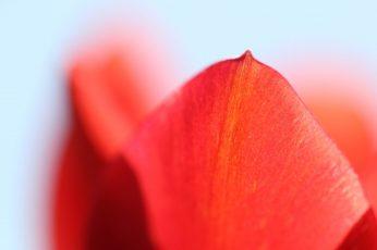 Red petals wallpaper