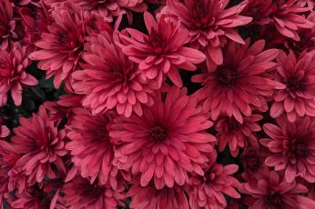 Black pink flower wallpaper