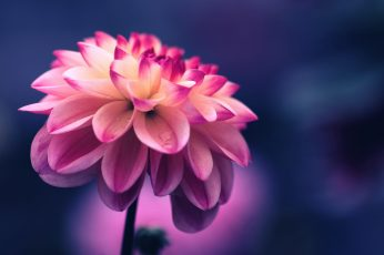 Pink petaled flower wallpapers
