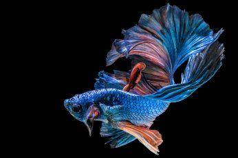 Wallpaper Blue betta fish, black, animal, animal themes, studio shot, black background