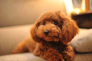 Wallpaper apricot Poodle puppy on sofa, Chocolat, chocolate, dog, nikon