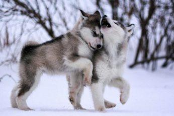 Dog wallpaper, eskimo dog, malamute, sled dog, husky, baby, cute, animals