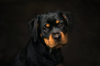 black and tan short-coated puppy, dark, dog, animals, portrait wallpaper