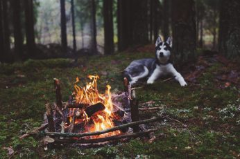 Adult black and white Siberian husky, dog, forest, fireplace wallpaper