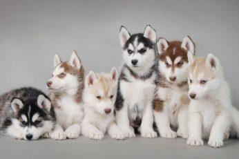 Siberian husky puppy litter, dog wallpaper, puppies, animals, domestic