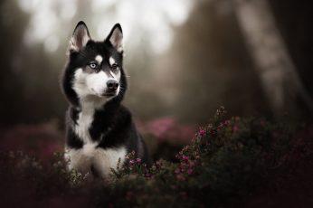 Adult white and black Siberian husky, black Siberian Husky puppy in tilt shift photography