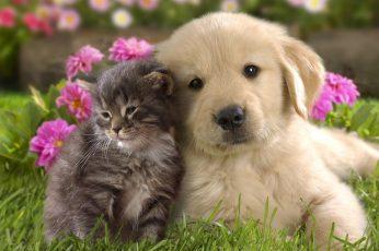 Golden retriever puppy, nature, animals, grass, puppies, kittens wallpaper