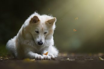 White wolf, dog, butterfly, one animal, animal themes, mammal wallpaper