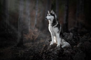 Forest, dog wallpaper, Husky