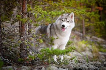 Adult white and black Siberian husky, Siberian Husky , animals wallpaper
