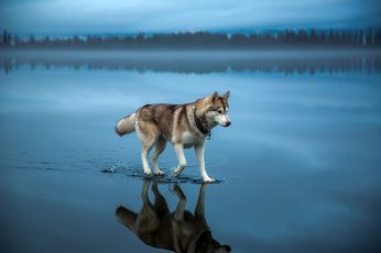 Adult brown and white Alaskan malamute, brown Siberian husky on body of water wallpaper