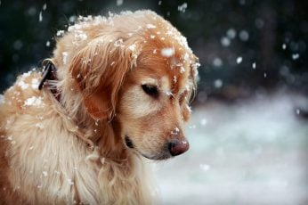 Adult golden retriever, dog, snow, golden retrievers, animals wallpaper