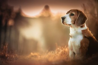 Adult short-coated tan and white dog, Beagles, blurred, depth of field wallpaper