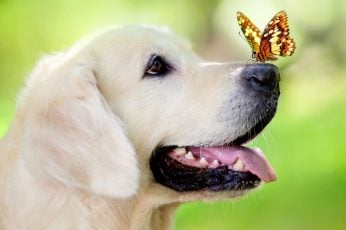 Yellow Labrador retriever, dog, muzzle, butterfly, tongue sticking out wallpaper