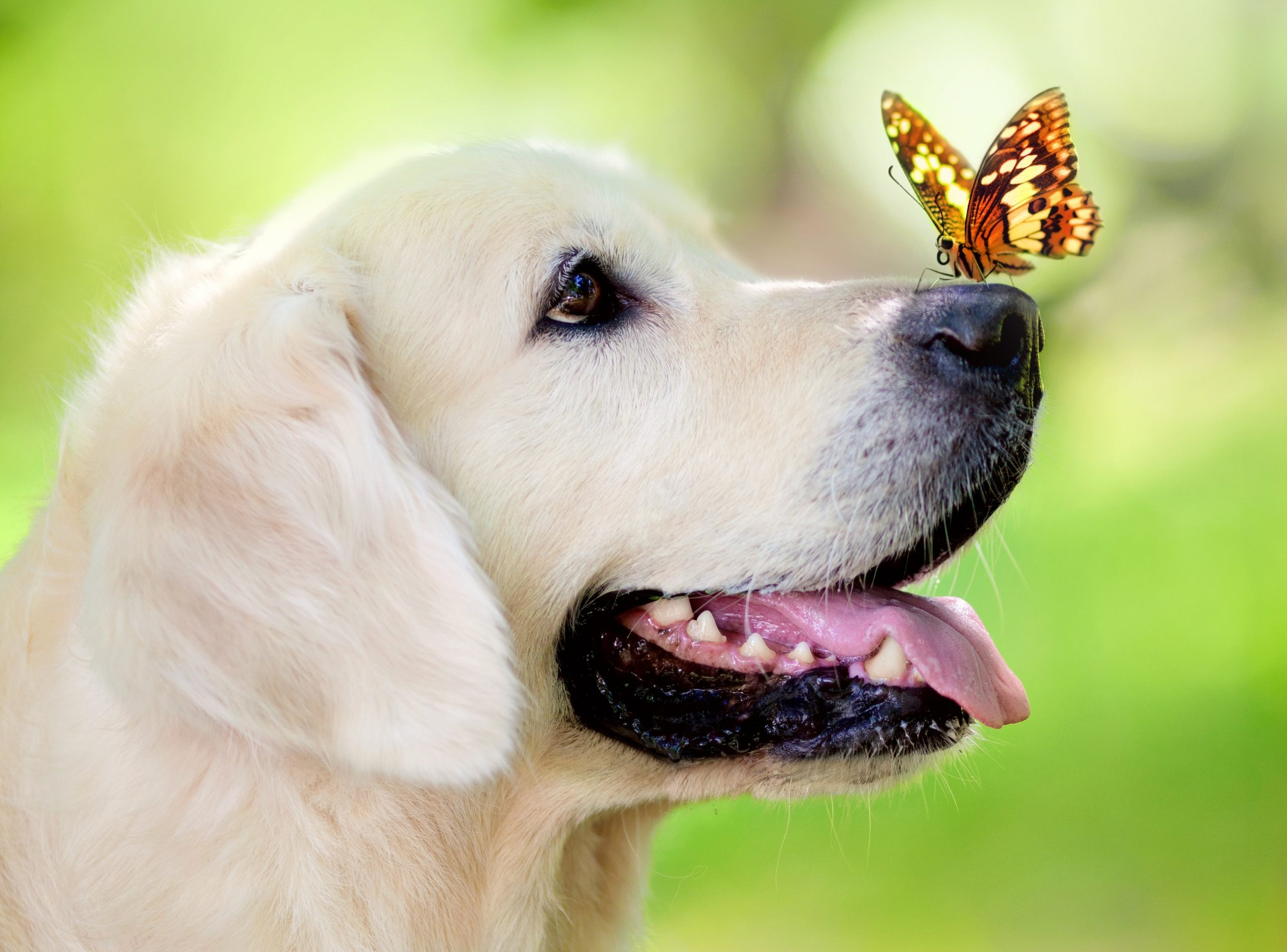 Yellow Labrador Retriever Dog Muzzle Butterfly Tongue Sticking Out Wallpaper Wallpaper For You The Best Wallpaper For Desktop Mobile Animal Wallpaper