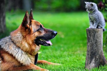 Adult brown German shepherd, dog, kittens, animals, cat, tree stump wallpaper